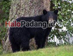 Pencari Petai di Sijunjung Dikejar Beruang, Lalu Dicakar.  Kondisi Parah, Dirujuk ke RS M Jamil