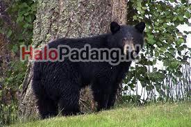 Pencari Petai di Sijunjung Dikejar Beruang, Lalu Dicakar. Kondisi Parah, Dirujuk ke RS M Jamil 1