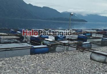 Tiga Ton Ikan di Karamba Danau Maninjau Mati Terapung 1